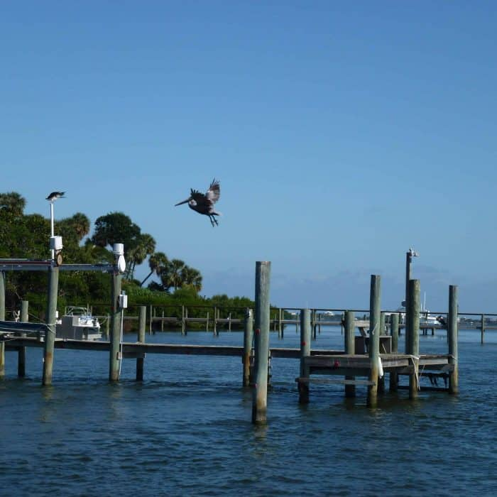 Pelicans in an estuary in Florida.