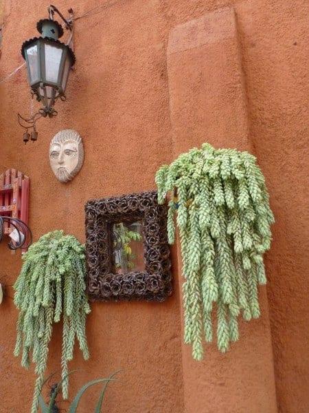Shapely succulents in San Miguel de Allende Mexico