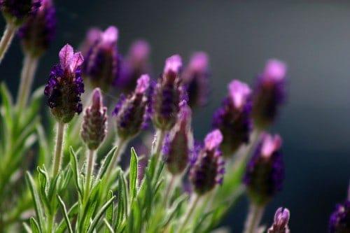 Lavender has healing powers