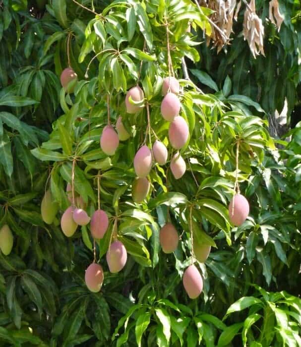 Mangos growing on a tree in Puerto Escondido