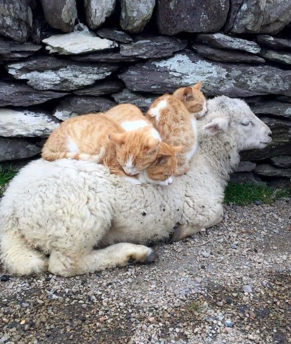 Cute cat and sheep family in countryside of Kerry Ireland Credit Michele Peterson
