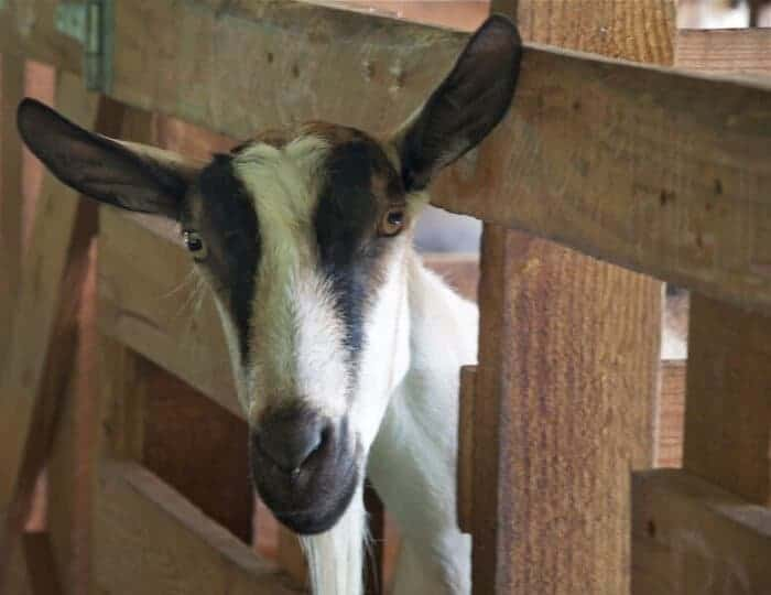 Meet the goats at Goat Dairy in Grenada