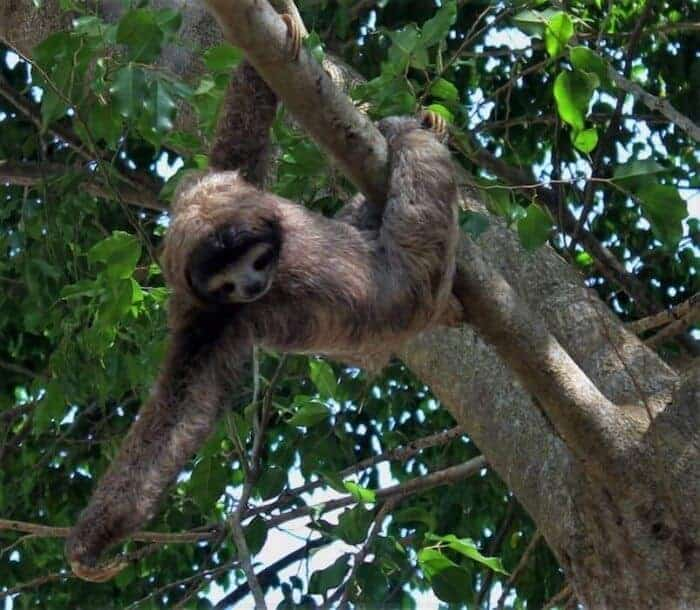 Sloth at Secrets Playa Bonita Panama Resort and Spa