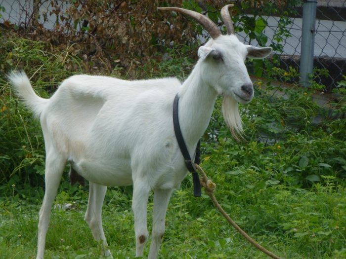 Goat racing in Tobago