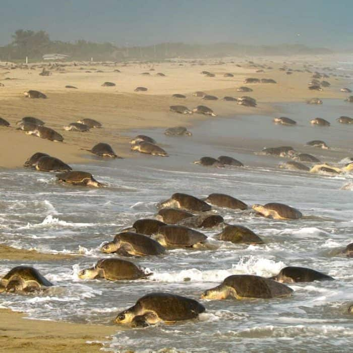 sea Turtle Arribada at La Escobilla Beach in Oaxaca credit WildCoast