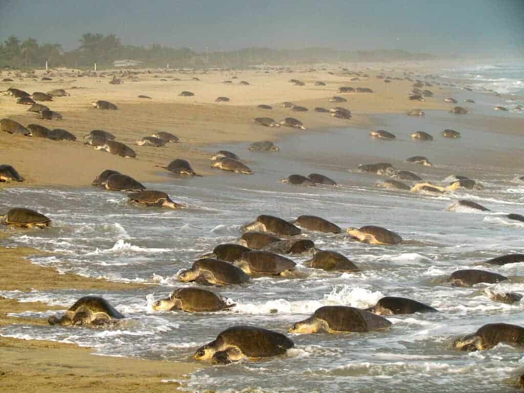 A sea turtle Arribada or mass nesting in Oaxaca Mexico (Photo credit: WildCoast)