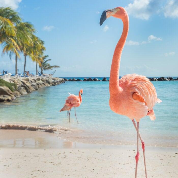 Two pink flamingos on Playa Flamingo Aruba