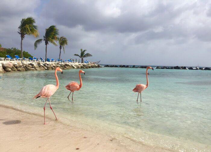 Flamingos at Renaissance Aruba Private Island