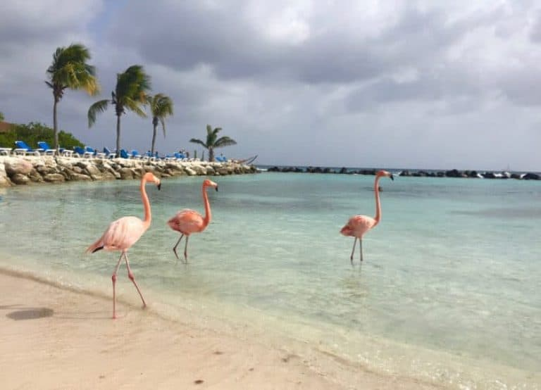 Flamingos at Renaissance Aruba Private Island