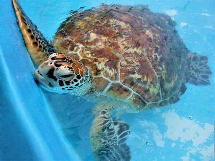 Rinnie at Fitzroy Sea Turtle Rehab Center