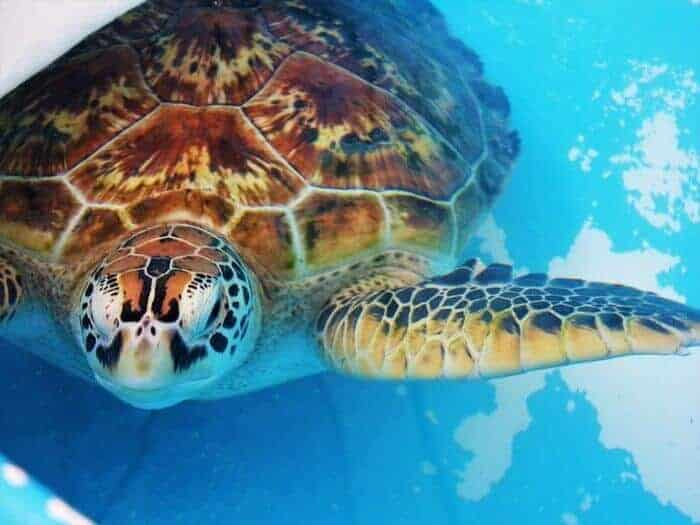 Cairns and Fitzroy Sea Turtle Rehab Centers