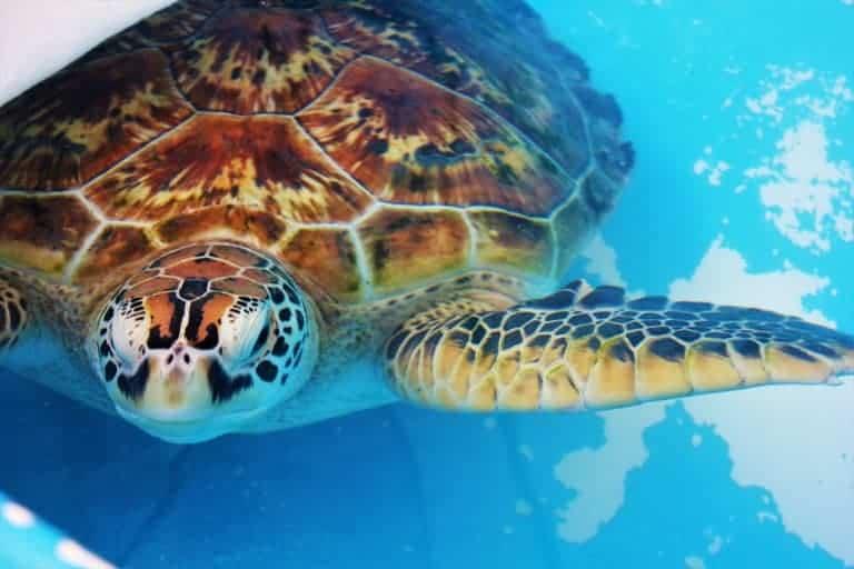 Sea turtle Fitzroy Island Australia
