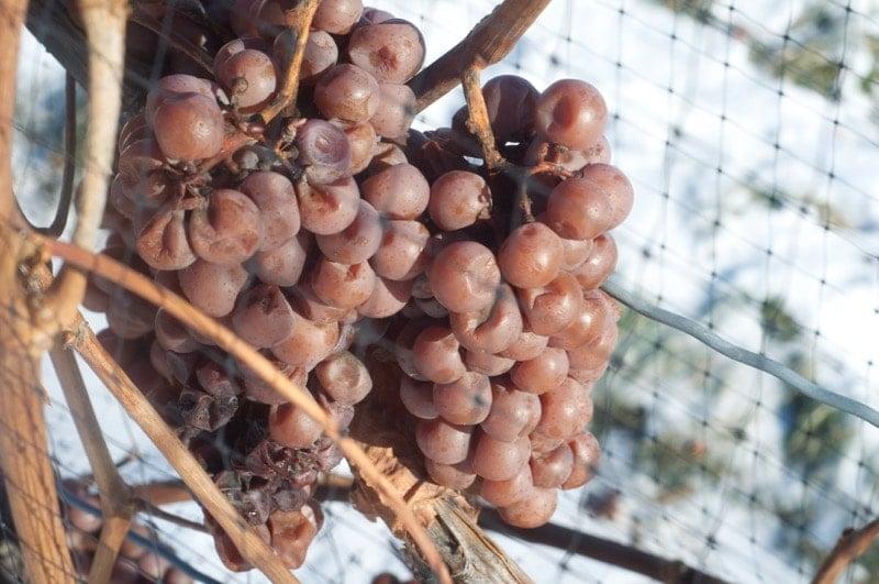 Niagara Ice wine grapes at Niagara Icewine Festival