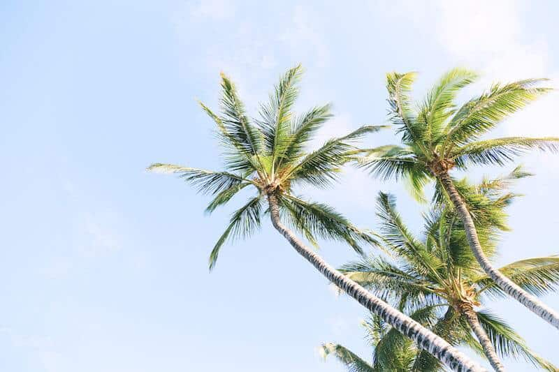 Palm trees against a blue sky on the Caribbean Coast. Credit Sebastien Gabriel