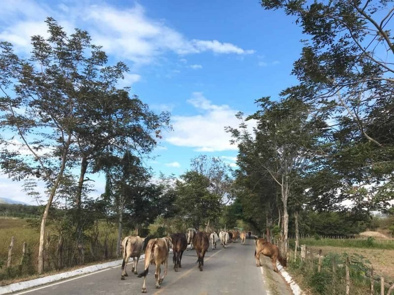 cows in Zacapa Guatemala