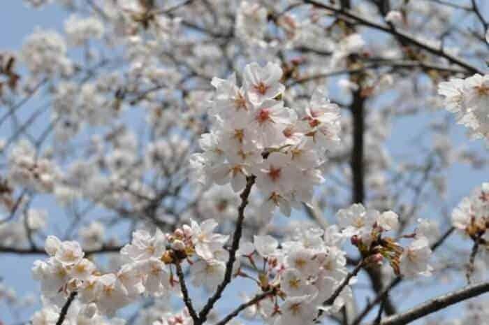 Cherry blossoms in Nagasaki Japan