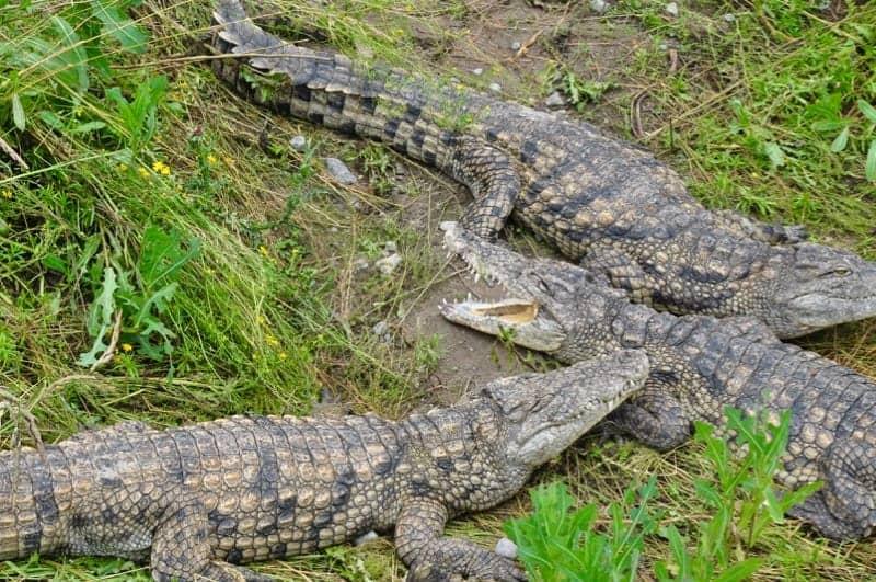 Crocodiles at Indian River Reptile Zoo