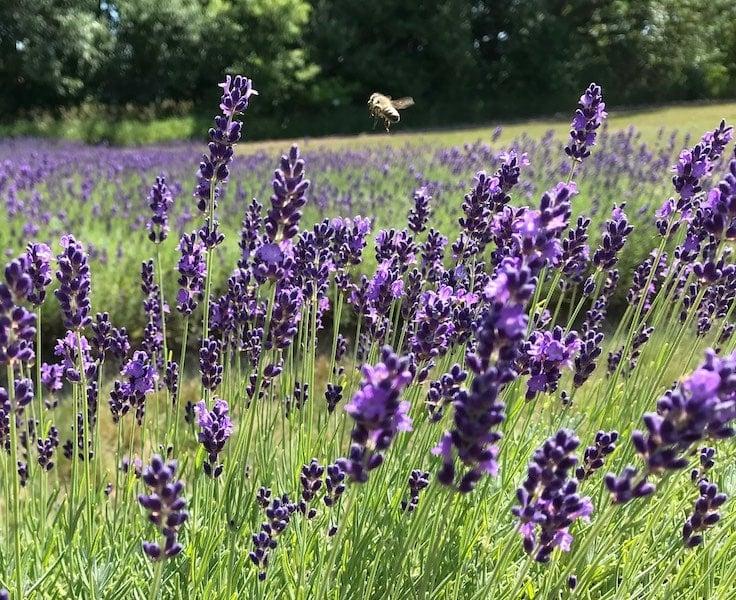 Laveanne Lavender Farm Port Hope Peterborough and the Kawarthas