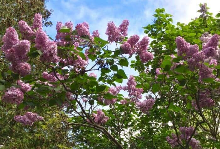 Lilacs in Lindsay Ontario