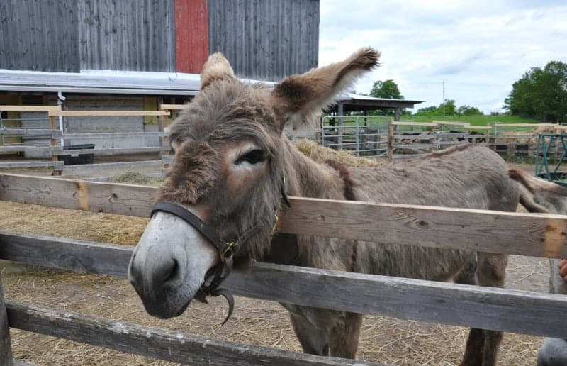 PrimRose Donkey Sanctuary near Roseneath Ontario