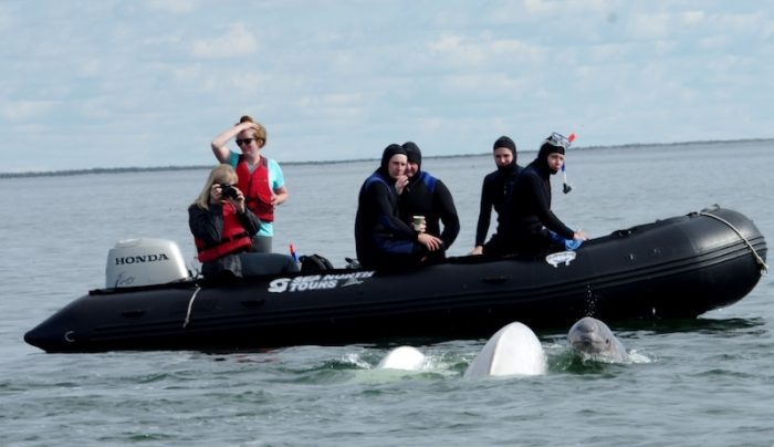 Sea Safari with belugas Credit Sea North Ltd