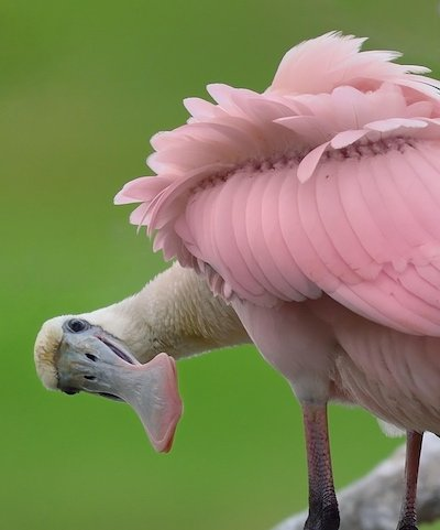 Roseate Spoonbill on Aruba