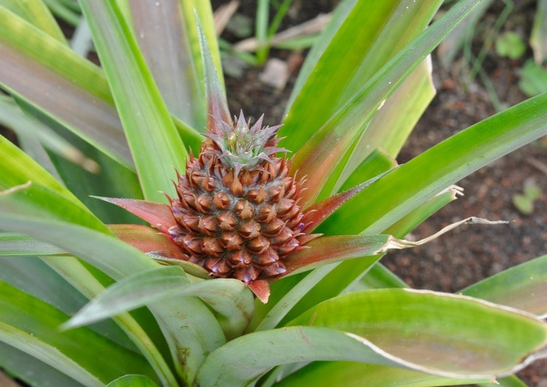 Baby pineapple growing in greenhouse in the Azores.