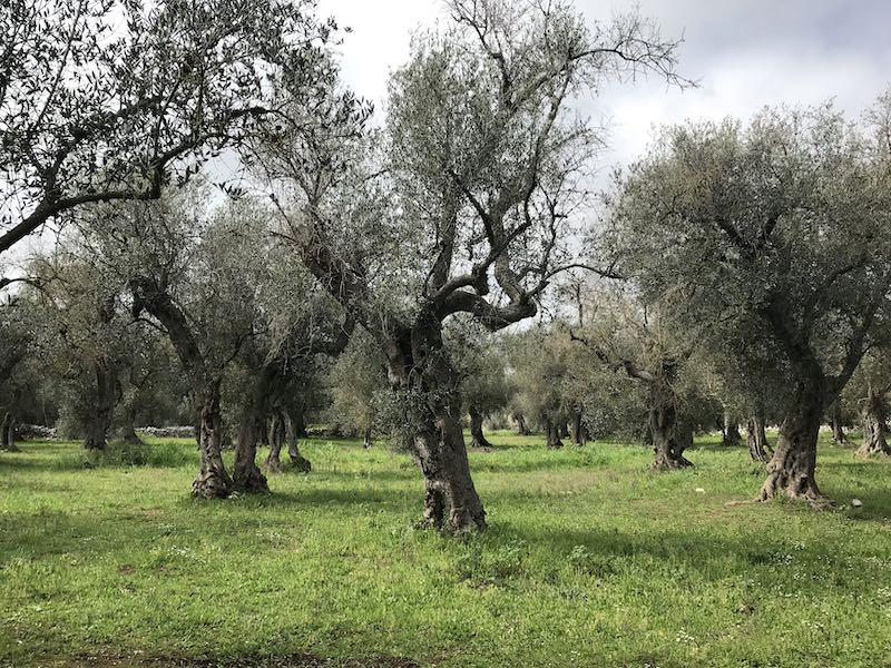 olive trees of salento Italy