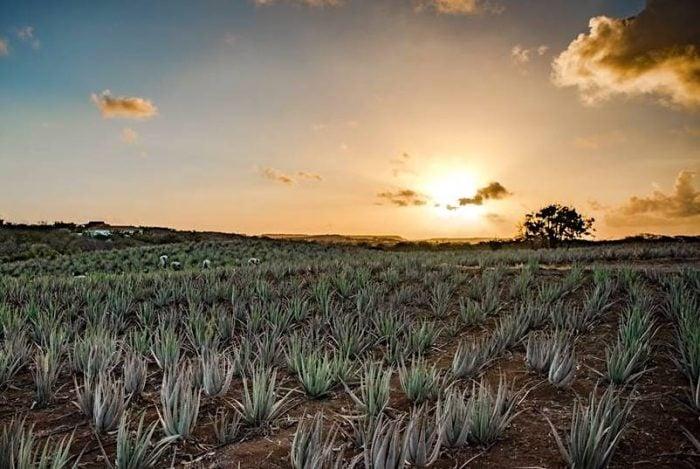 Aloe Vera Farm in Curacao Credit Curaloe.com