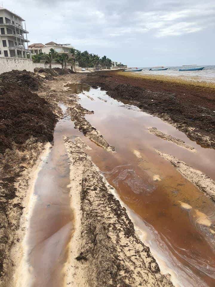 Brown sargassum at Azul beach in Cancun seaweed season 2021.