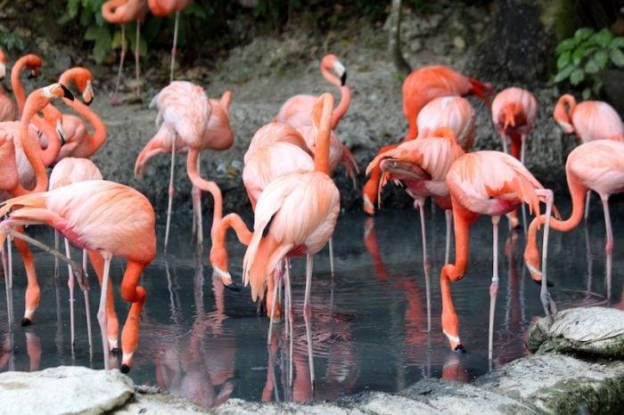 Caribbean Flamingos - Credit Pexels