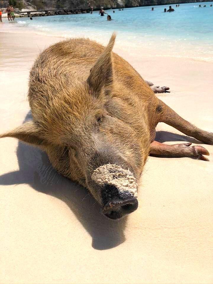 pig beach in Curacao Credit Lauren Siegel