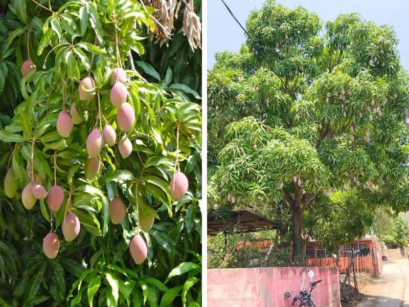mango trees in Mexico and Guatemala
