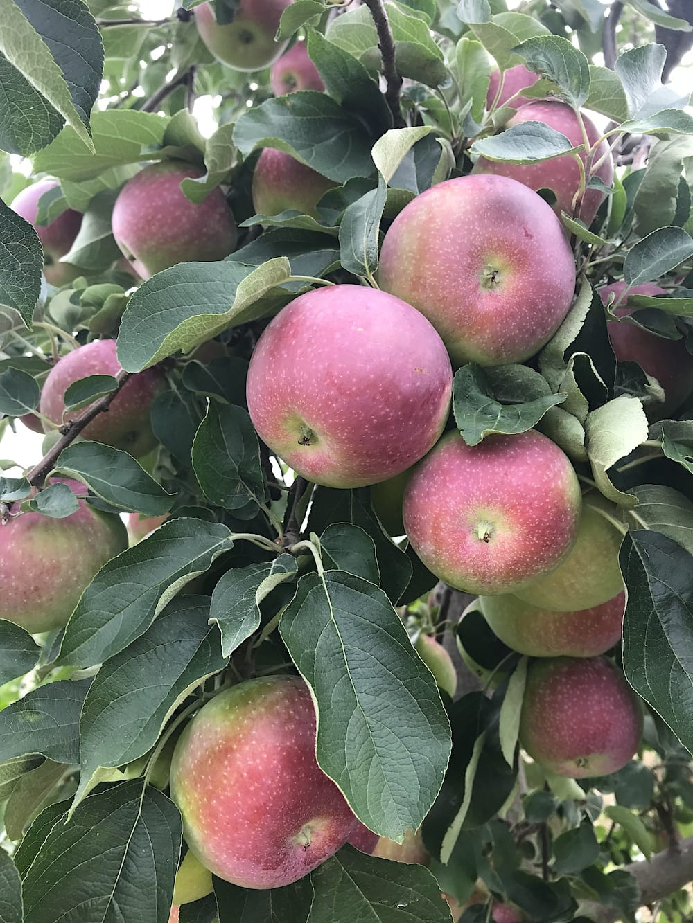 apples on a tree in Brighton Ontario