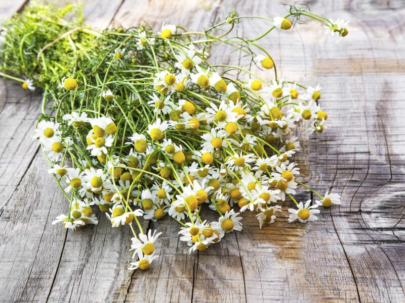 Fresh chamomile flowers on a wooden background