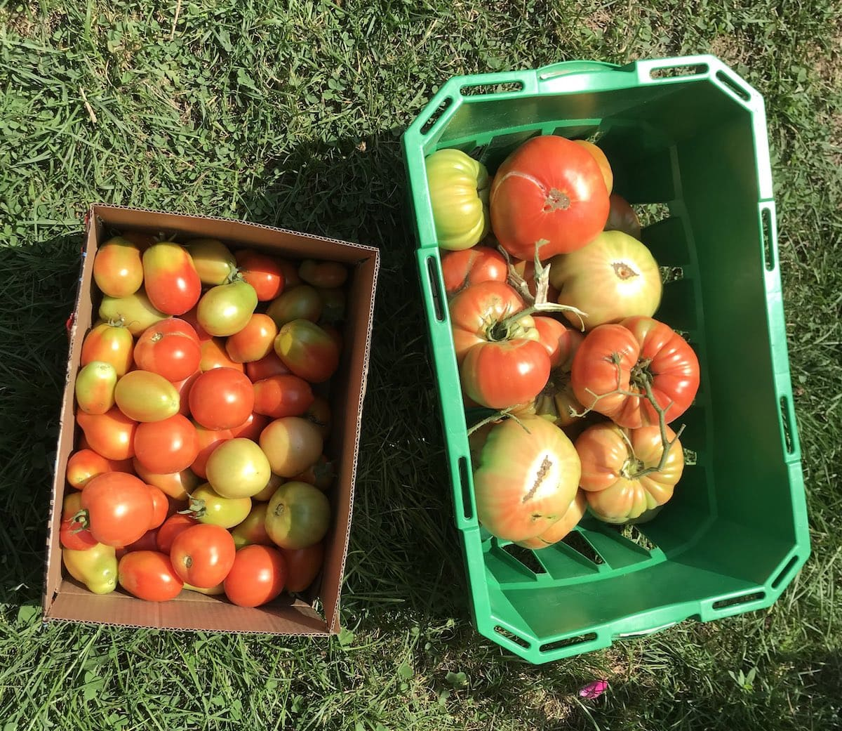 Fresh garden tomatoes in boxes.