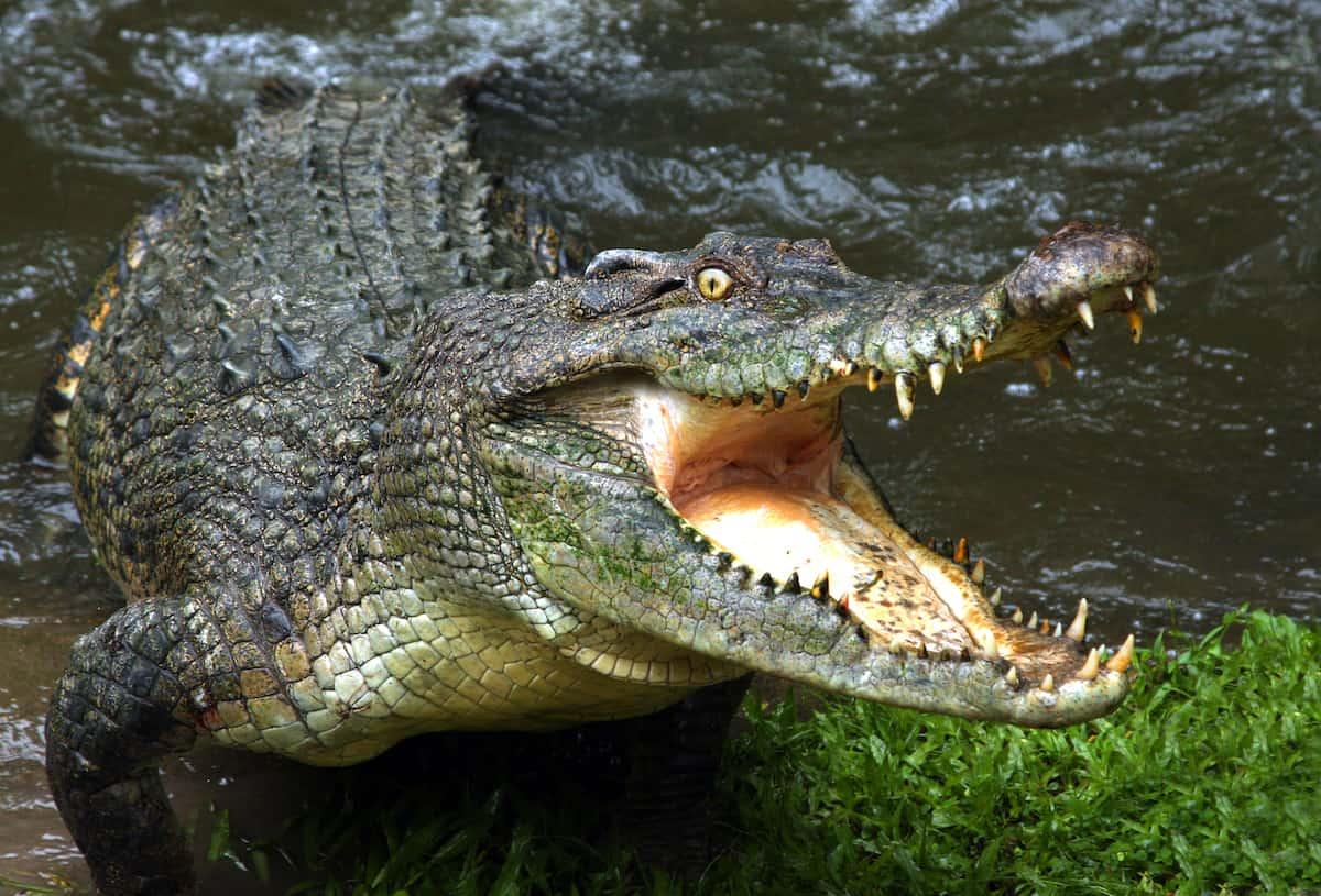 Crocodile in the water.