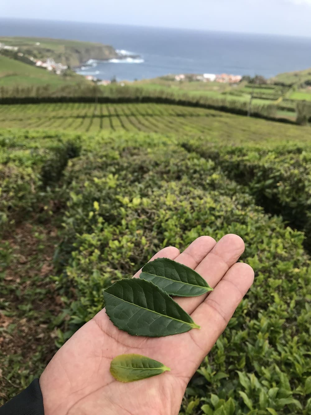 A man's hand holding three sizes of tea leaves at Tea Porto Formoso in Azores.
