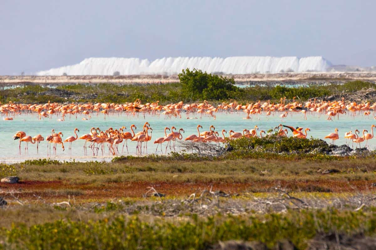A flock of flamingos on Bonaire.
