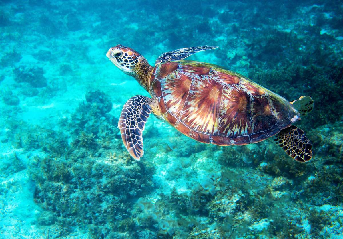 Sea turtle in turquoise blue water.