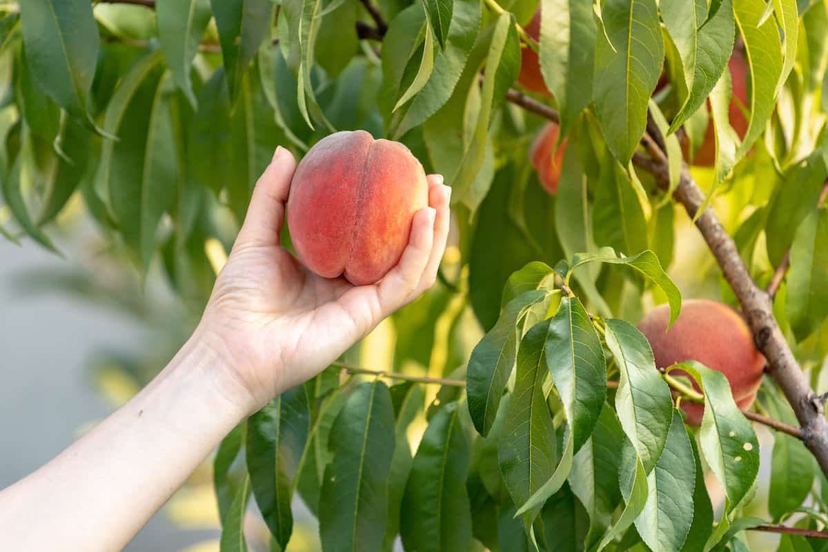Person's hand picking fresh peaches in an orchard..
